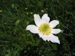 Fleur_blanche_OK
