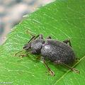 Otiorrhynque de la vigne • Otiorrhynchus sulcatus • Curculionida