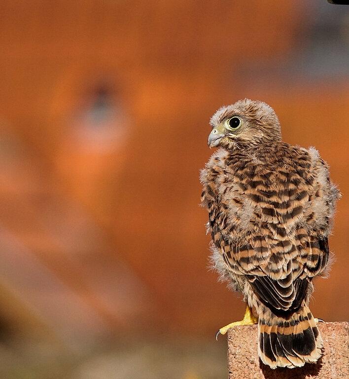 Faucon crecerelle juvenile-3