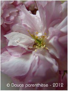 Prunus 3