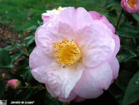 Camellia japonica Dr Tinsley