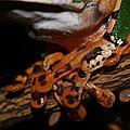 Callimedusa aff. tomopterna - Phylloméduse tigrine