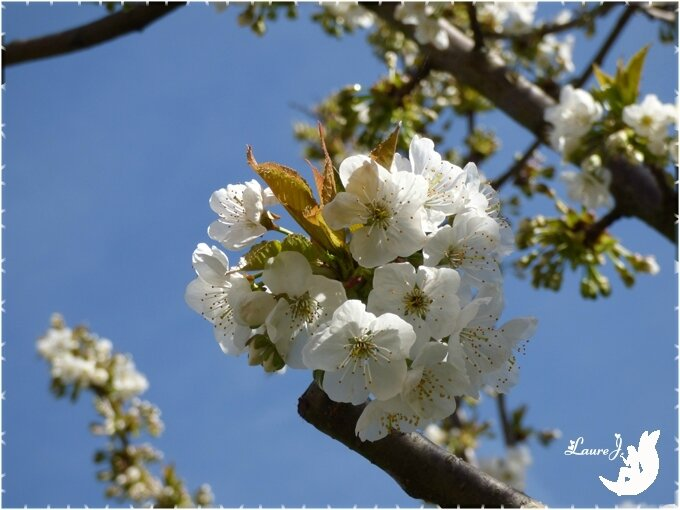 cerisier 7