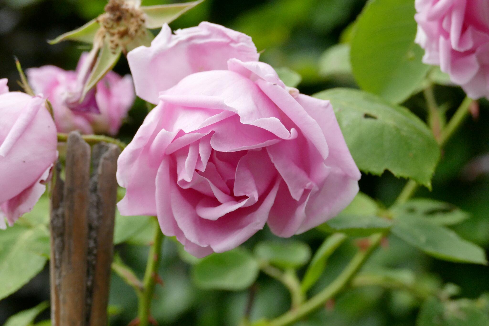 La rose Hybride de Thé