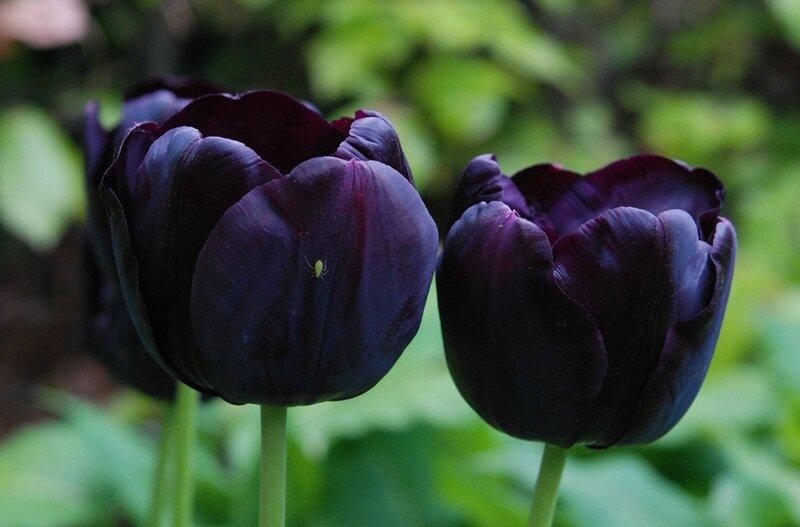 Tulipa 'Paul Sherer'2