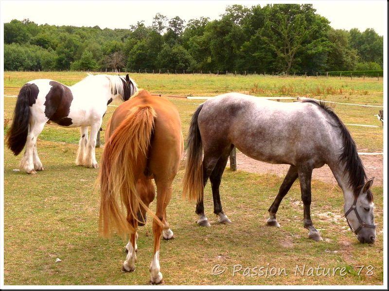 Les chevaux en pension (21)