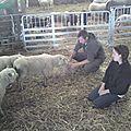 Tonte des agneaux avranchins en bergerie et dans les prés