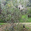 Banksia media jardin botanique de la villa thuret