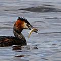 Aves - grebe huppé - podiceps cristatus