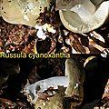 Russula cyanoxantha