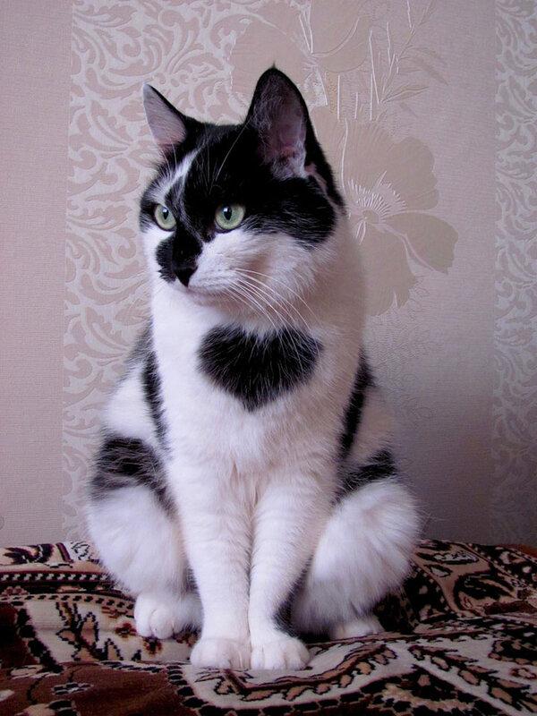 chats-au-pelage-coeur-1