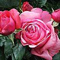 Belles roses!
