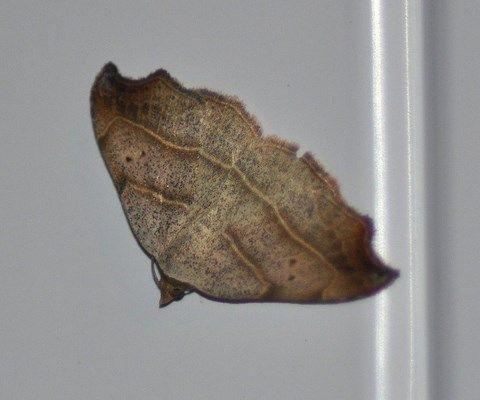 Laspeyria flexula ( le crochet )