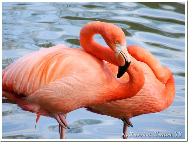 Les flamants roses (15)