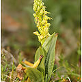 Orchis homme-pendu : aceras anthropophorum