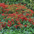 Rhododendron rouge ... !
