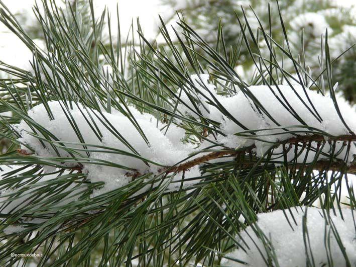 Branches de pin-janvier 2009