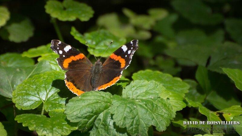Vulcain (Vanessa atalanta - Nymphalidae)