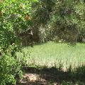 Champ de blé entouré de grenadiers et oliviers