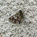 Hespérie de la Mauve • Pyrgus malvae • Famille des Hesperiidae