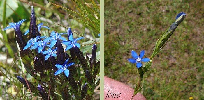 corolle 8-12 mm bleu-azur à gorge blanche