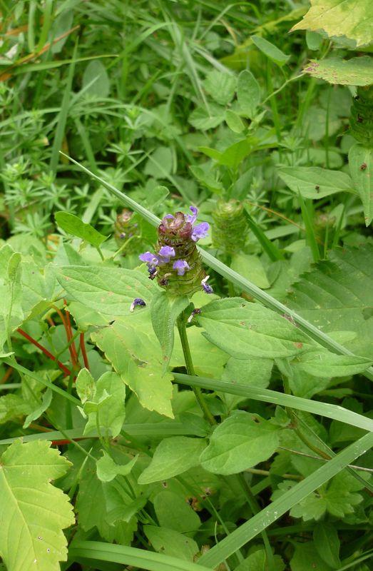 Brunelle (Prunella vulgaris)