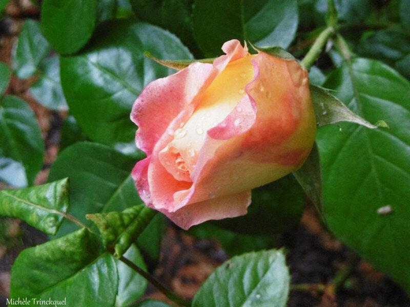 1-Boutons de mes roses et Melody 020517