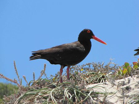 oyster_catcher_1