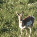 Yellow stone - Pronghorn