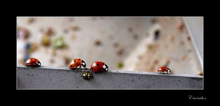 coccinellid_s