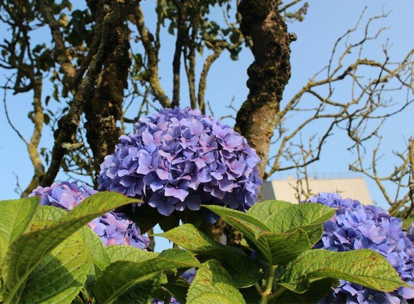 fleurs de Bretagne4