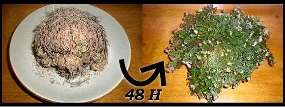 Selaginella lepidophylla - Plante résurection