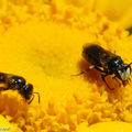 Cerceris rybyensis • Famille Crabronidae (s/F-Philanthinae)