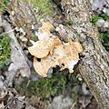 Polyporus tuberaster (2)