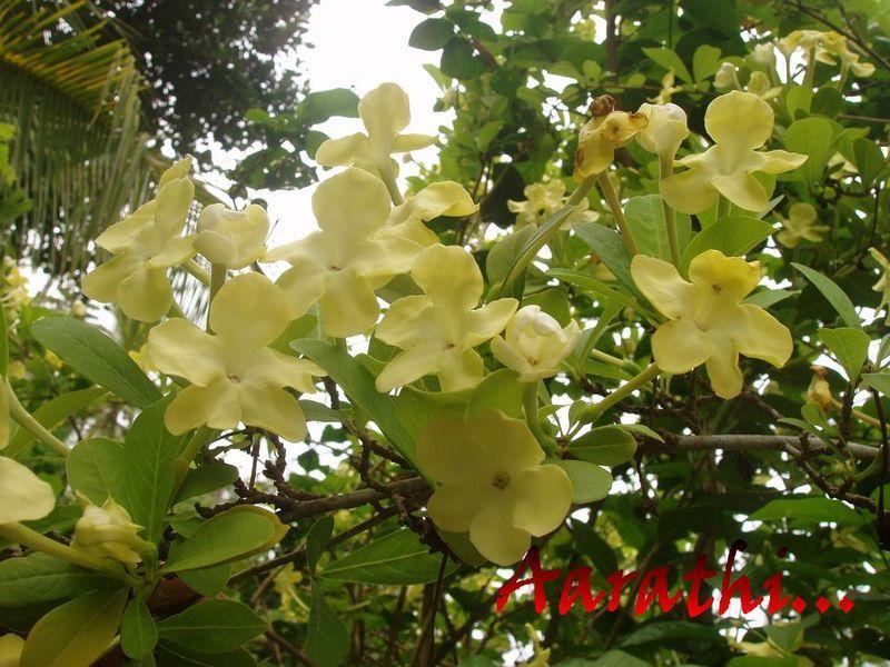 Brunfelsia americana -Lady of the Night
