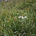 Edelweiss (5)