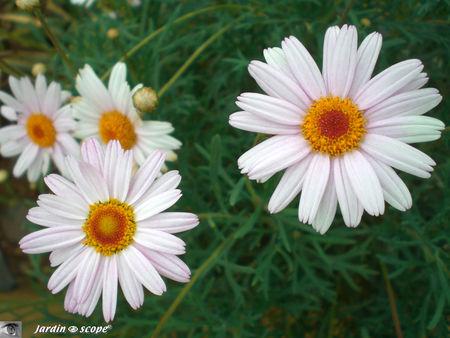 8905_Asteraceae