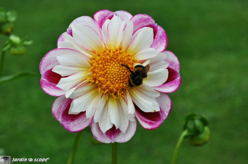Dahlia-Bumble-rumble - photo archives JardinOscope