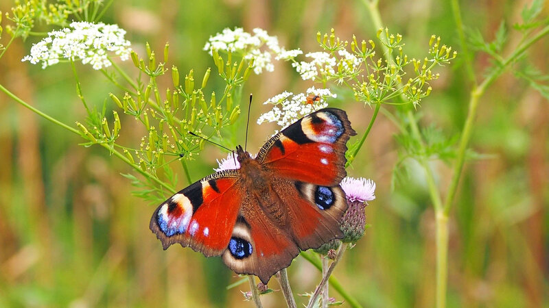 peacock-butterfly-1526939_1920