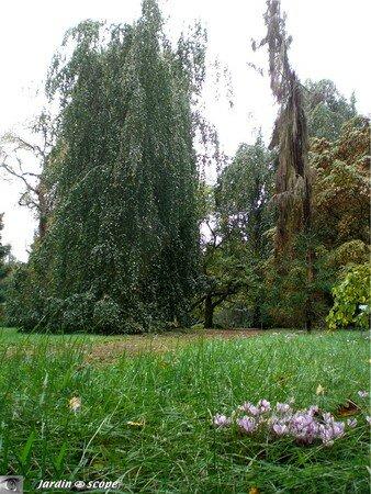 30_sequoia_pleureur
