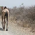 dromadaire dans le parc national d'Awash
