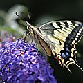 Le Machaon • Papilio machaon • Famille des Papilionidae
