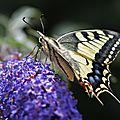 Le Machaon • Papilio machaon • Famille des Papilionidae