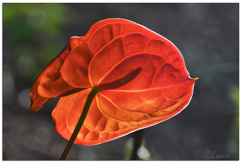 Reunion_anthurium_4