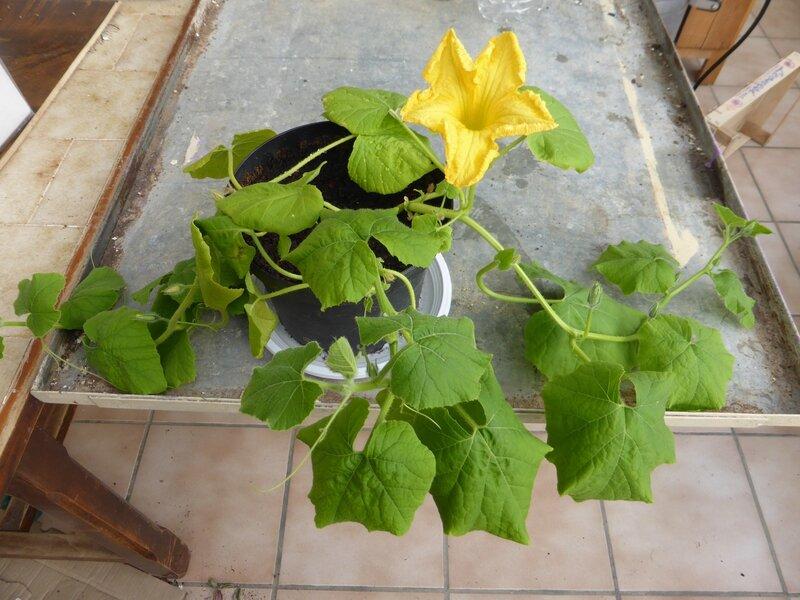 18-fleur de potimarron (4)