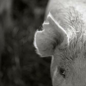 Pigsear © Ricardo BLOCH