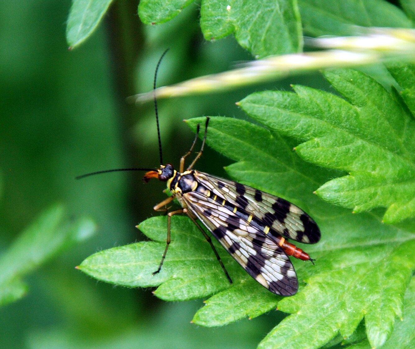 Panorpa communis (femelle)