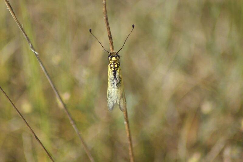 =liblloides longicornis (7)