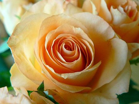 apricot_colored_rose_closeup