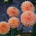 2008 09 30 Mon dahlias orange pompon